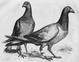 Messenger pigeons? Courtesy of en.wikipedia.org via Google search for images licensed for commercial reuse with modification.