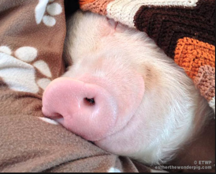 Esther the wonder pig. Everybody needs to know Esther! :)